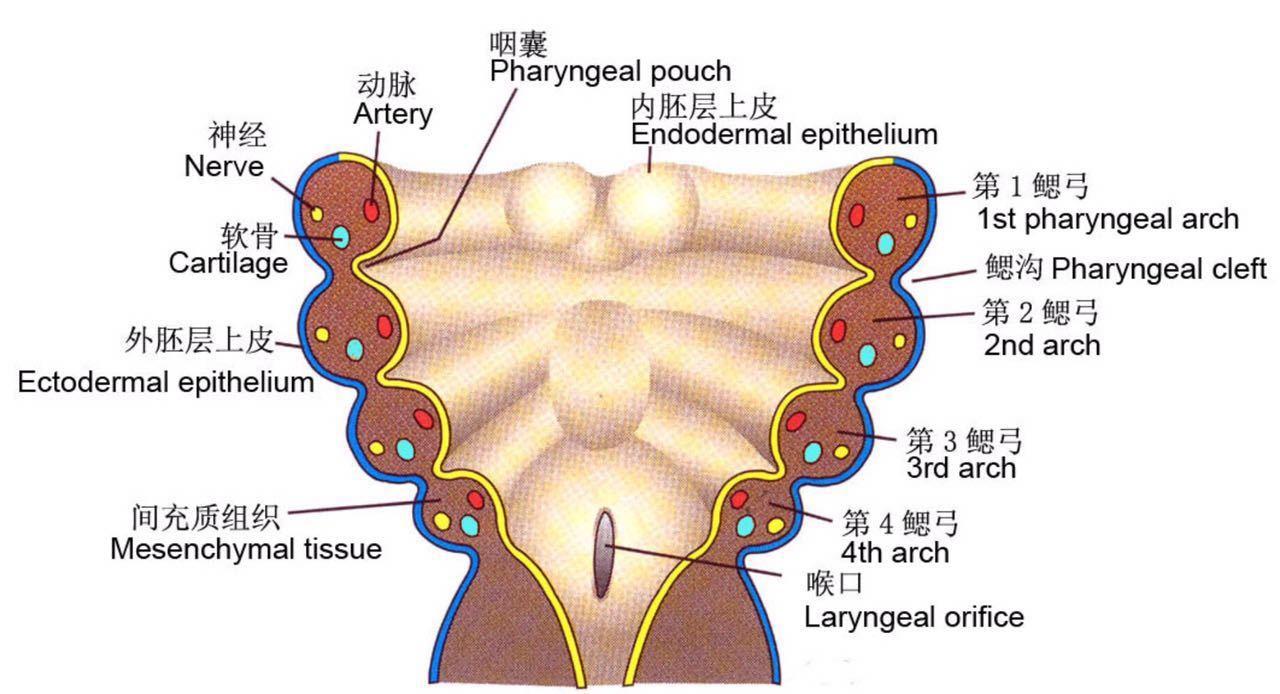 胚胎发育图.jpg
